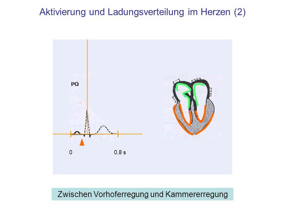 Aktivierung und Ladungsverteilung im Herzen (3) Beginn der Erregungsausbreitung in den Herzkammern 00,8 s