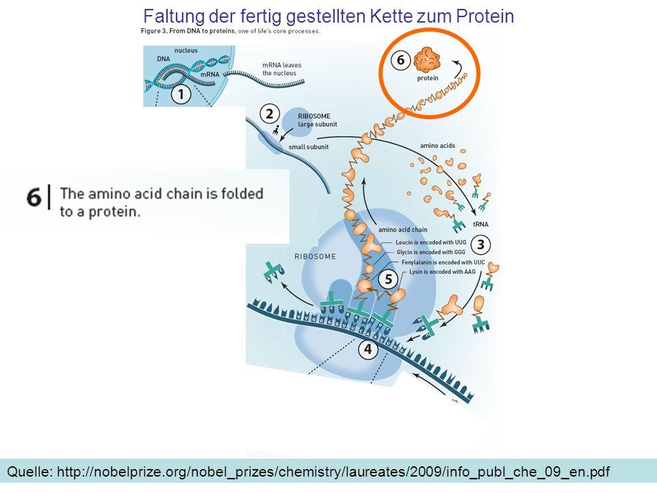 Faltung der fertig gestellten Kette zum Protein Quelle: http://nobelprize.org/nobel_prizes/chemistry/laureates/2009/info_publ_che_09_en.pdf