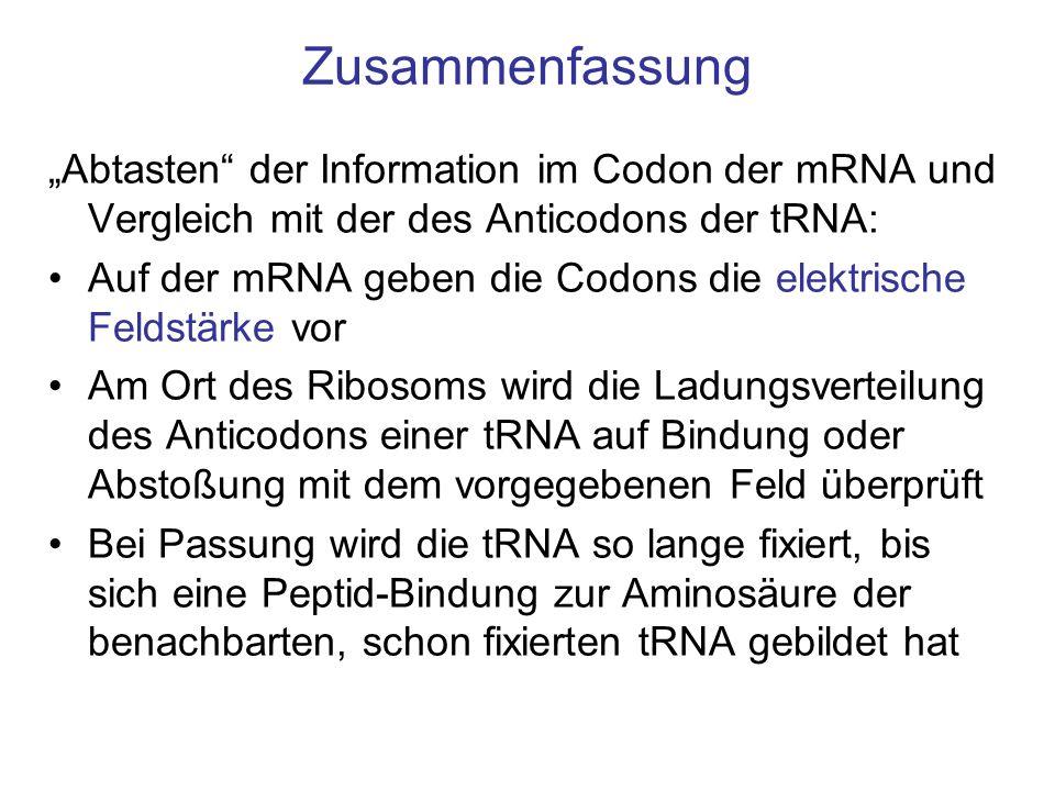 Zusammenfassung Abtasten der Information im Codon der mRNA und Vergleich mit der des Anticodons der tRNA: Auf der mRNA geben die Codons die elektrisch