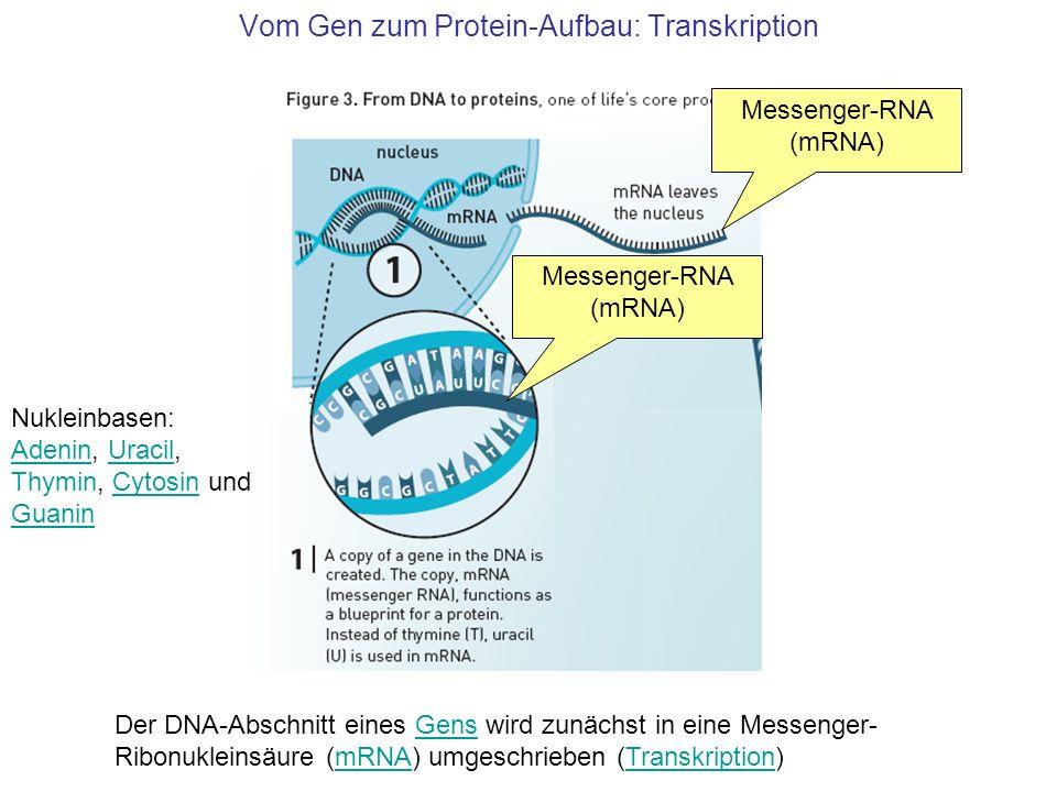 Vom Gen zum Protein-Aufbau: Transkription Der DNA-Abschnitt eines Gens wird zunächst in eine Messenger- Ribonukleinsäure (mRNA) umgeschrieben (Transkr