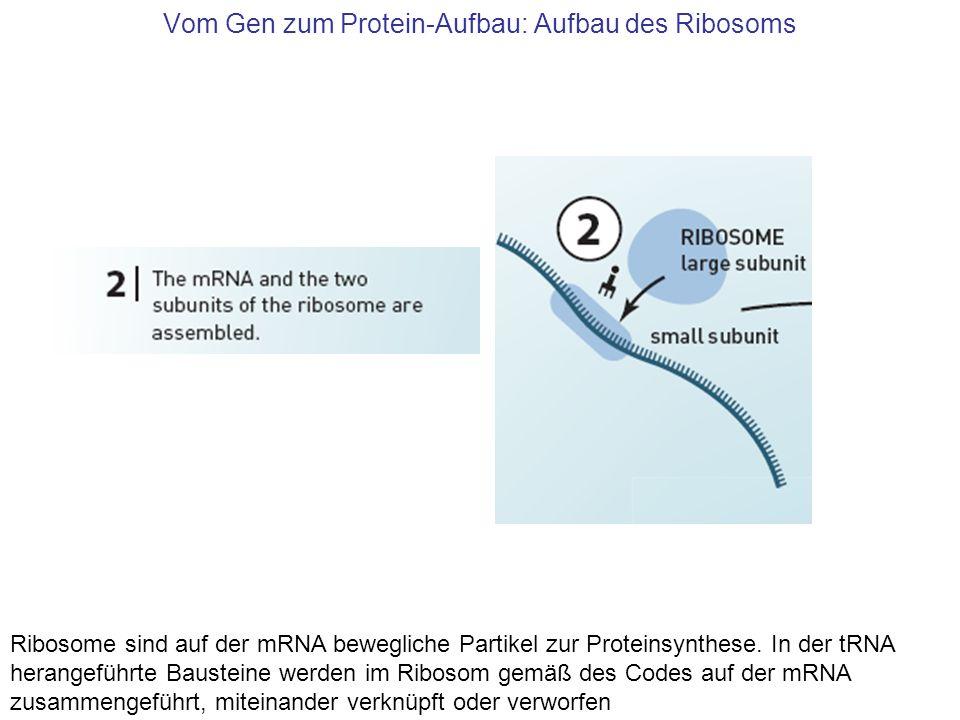 Vom Gen zum Protein-Aufbau: Aufbau des Ribosoms Ribosome sind auf der mRNA bewegliche Partikel zur Proteinsynthese. In der tRNA herangeführte Baustein
