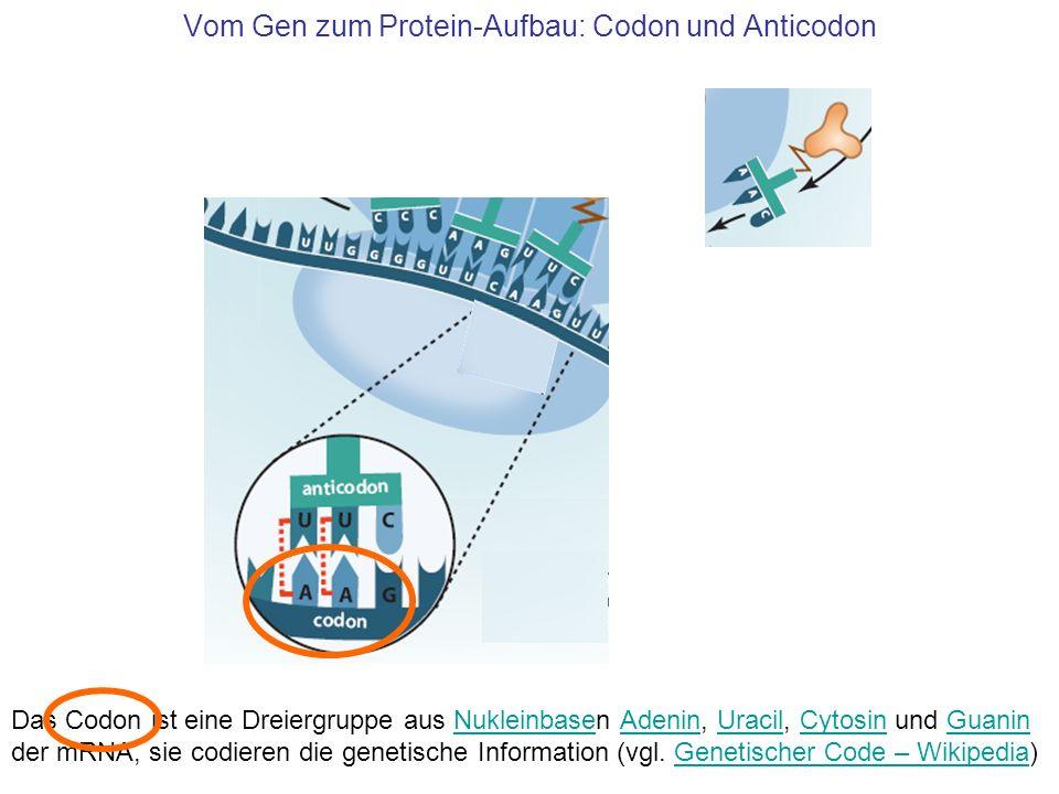Vom Gen zum Protein-Aufbau: Codon und Anticodon Das Codon ist eine Dreiergruppe aus Nukleinbasen Adenin, Uracil, Cytosin und Guanin der mRNA, sie codi