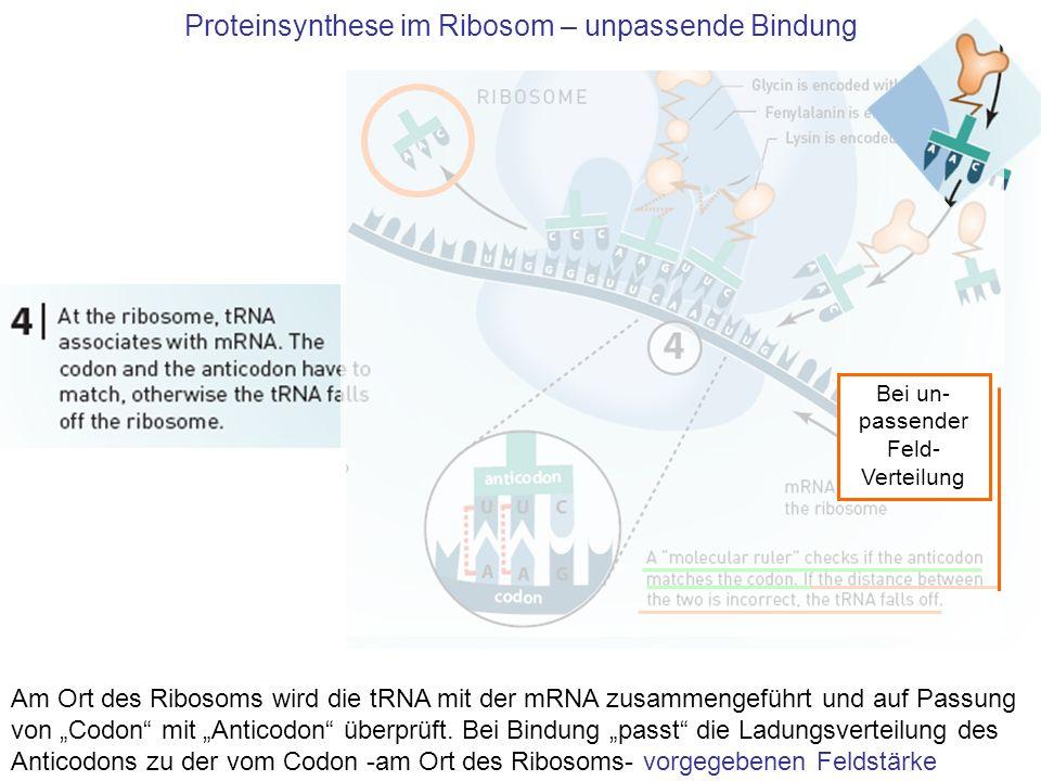 Proteinsynthese im Ribosom – unpassende Bindung Am Ort des Ribosoms wird die tRNA mit der mRNA zusammengeführt und auf Passung von Codon mit Anticodon