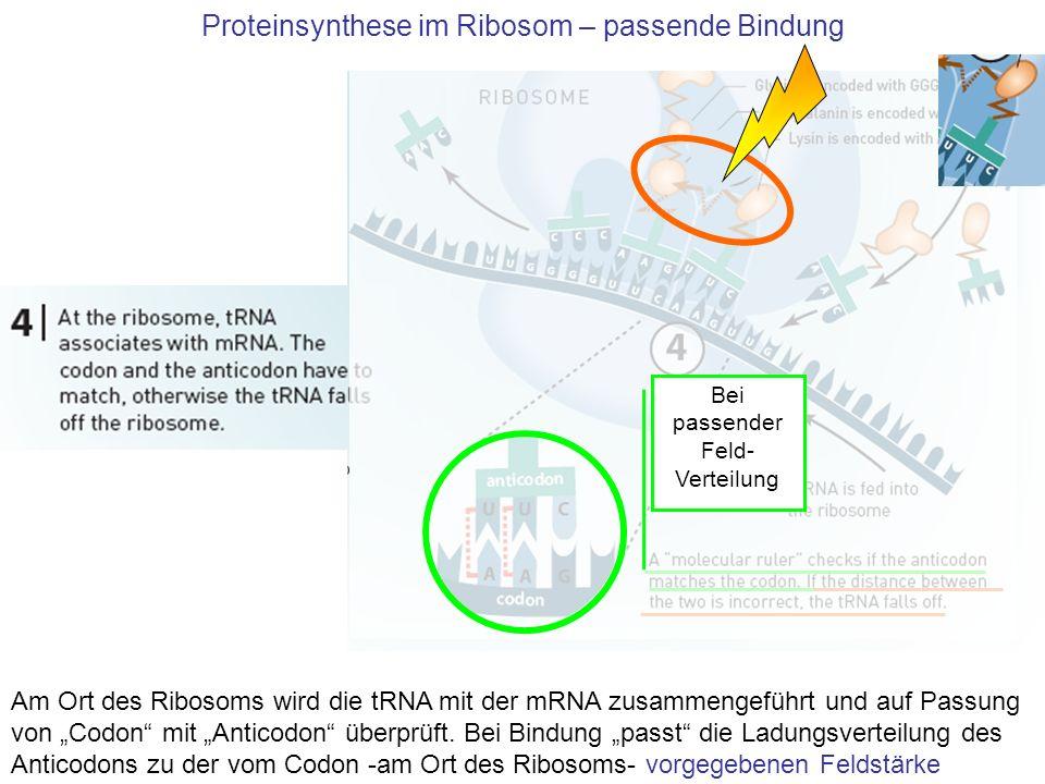 Proteinsynthese im Ribosom – passende Bindung Am Ort des Ribosoms wird die tRNA mit der mRNA zusammengeführt und auf Passung von Codon mit Anticodon ü