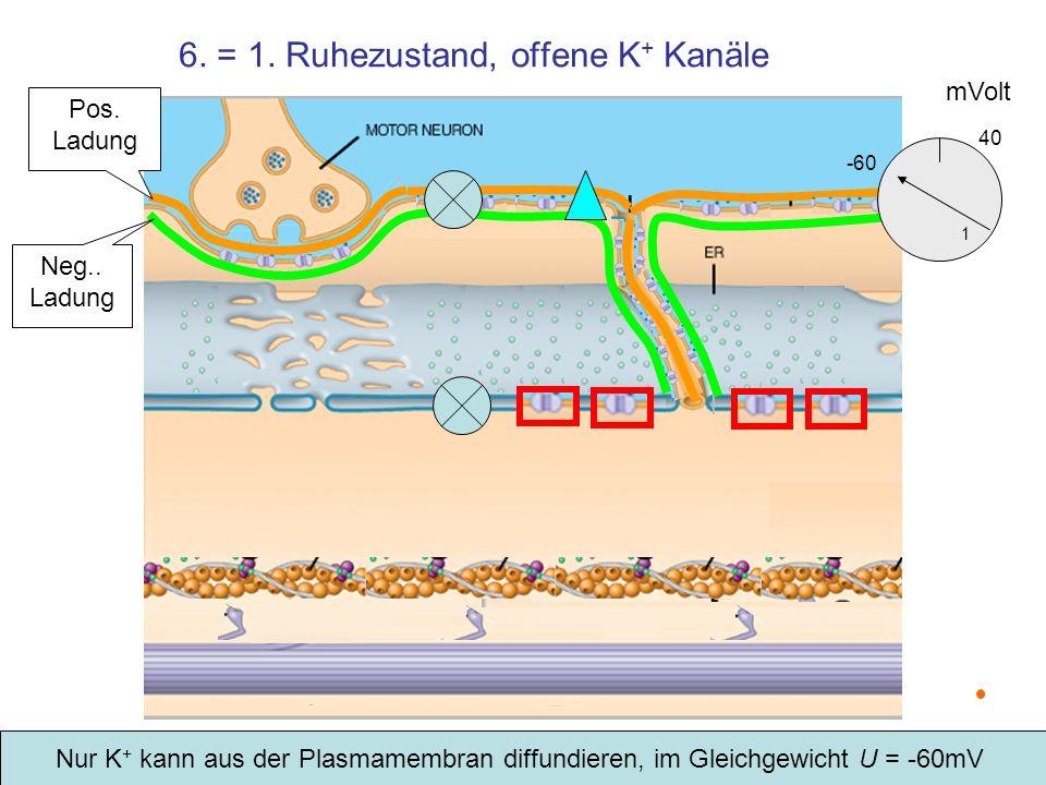 6. = 1. Ruhezustand, offene K + Kanäle mVolt -60 1 40 Nur K + kann aus der Plasmamembran diffundieren, im Gleichgewicht U = -60mV Pos. Ladung Neg.. La