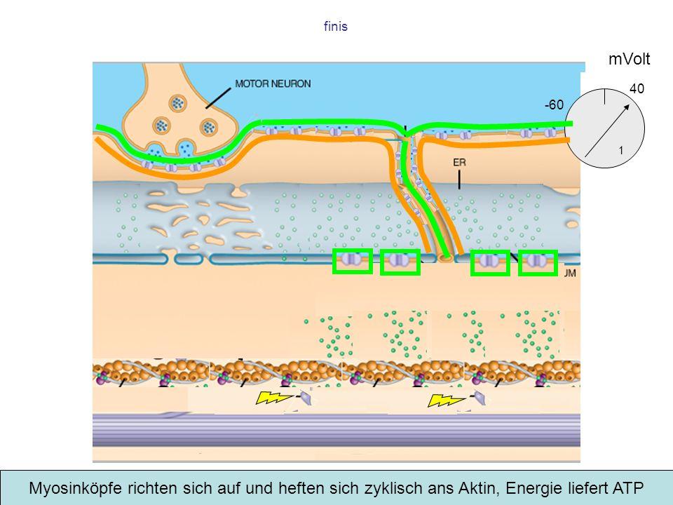 finis Myosinköpfe richten sich auf und heften sich zyklisch ans Aktin, Energie liefert ATP mVolt -60 1 40