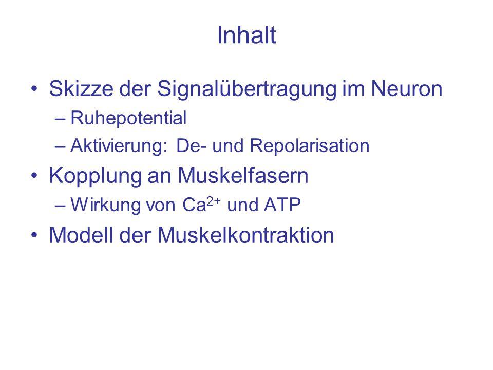 Inhalt Skizze der Signalübertragung im Neuron –Ruhepotential –Aktivierung: De- und Repolarisation Kopplung an Muskelfasern –Wirkung von Ca 2+ und ATP