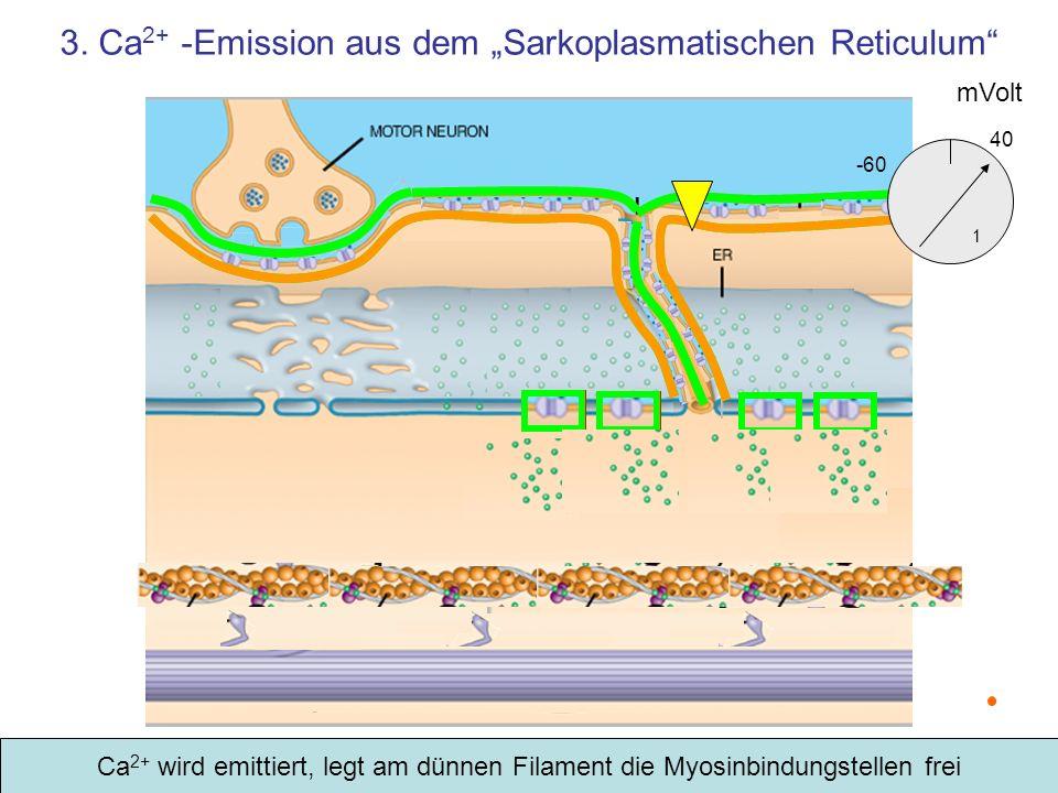 3. Ca 2+ -Emission aus dem Sarkoplasmatischen Reticulum mVolt -60 1 40 Ca 2+ wird emittiert, legt am dünnen Filament die Myosinbindungstellen frei