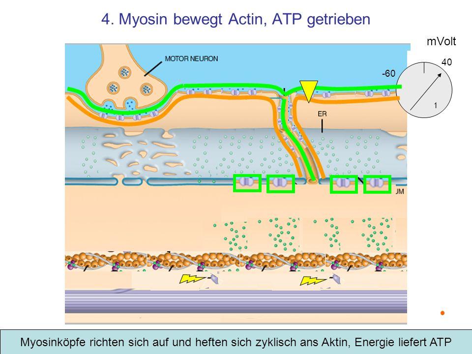 4. Myosin bewegt Actin, ATP getrieben Myosinköpfe richten sich auf und heften sich zyklisch ans Aktin, Energie liefert ATP mVolt -60 1 40