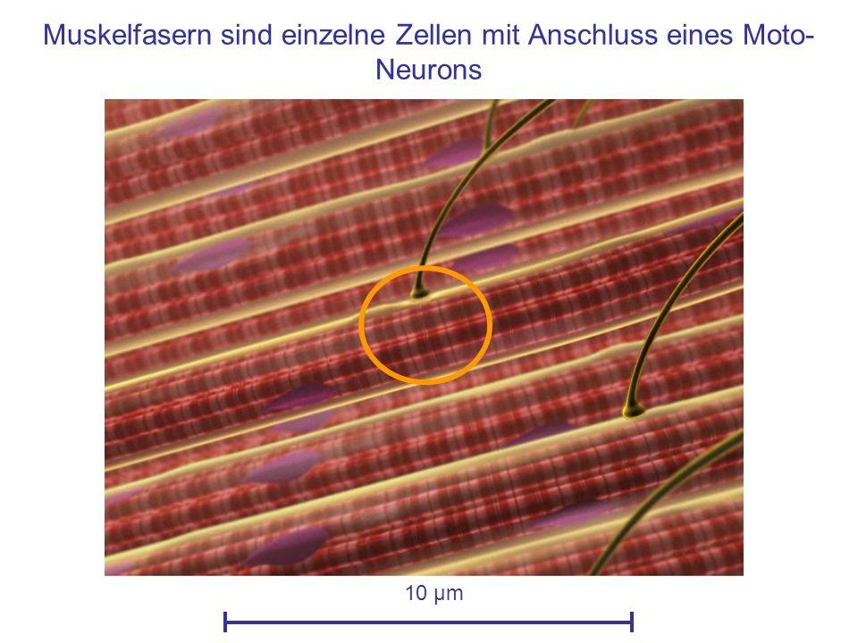 Muskelfasern sind einzelne Zellen mit Anschluss eines Moto- Neurons 10 µm