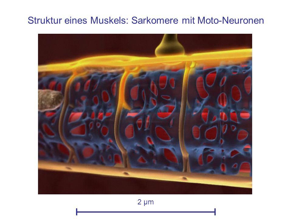 Aktions-Potential breitet sich aus 2 µm