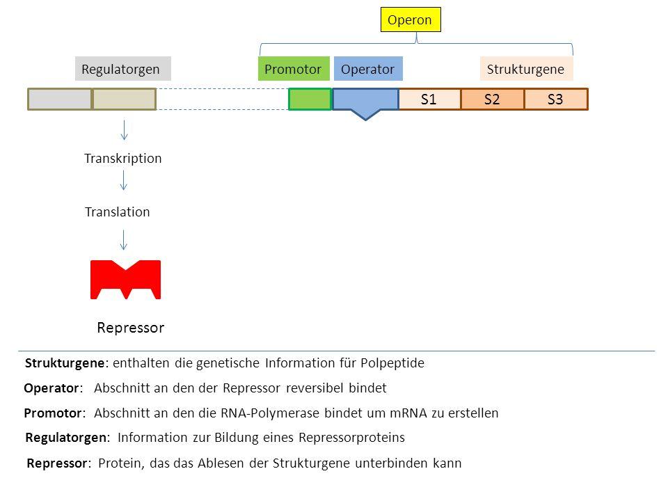 S1S2S3 Strukturgene Strukturgene: enthalten die genetische Information für Polpeptide OperatorPromotor Transkription Translation Repressor Operator: A