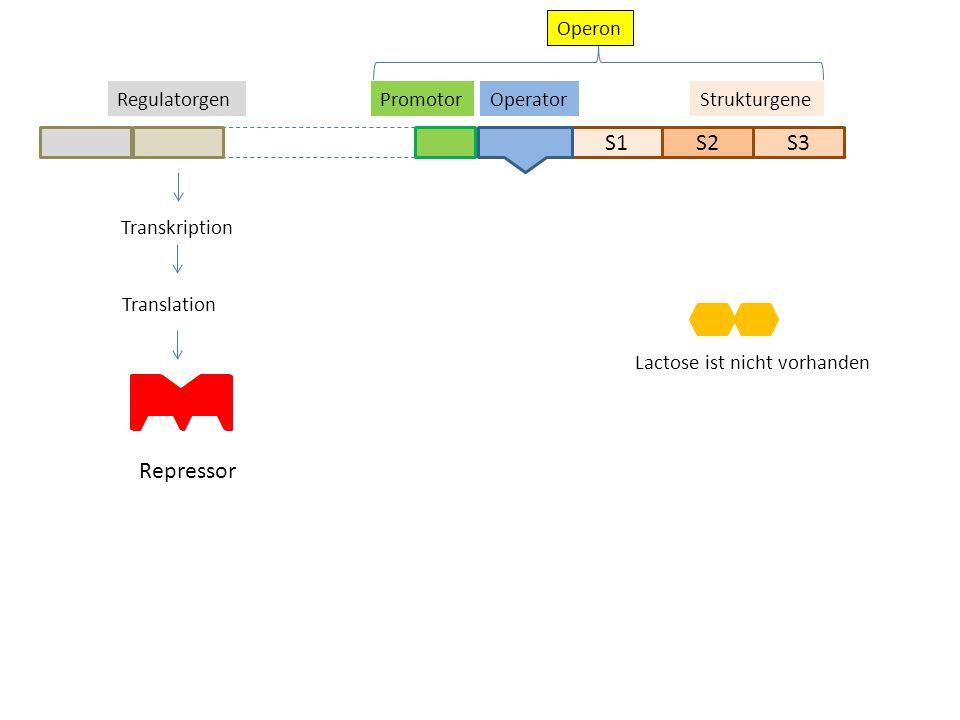 S1S2S3 StrukturgeneOperatorPromotor Transkription Translation Repressor Regulatorgen Operon Lactose ist nicht vorhanden