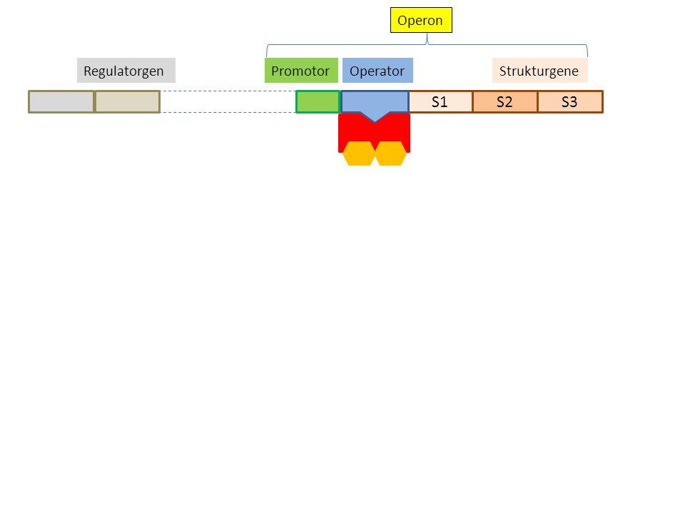 S1S2S3 StrukturgeneOperatorPromotorRegulatorgen Operon