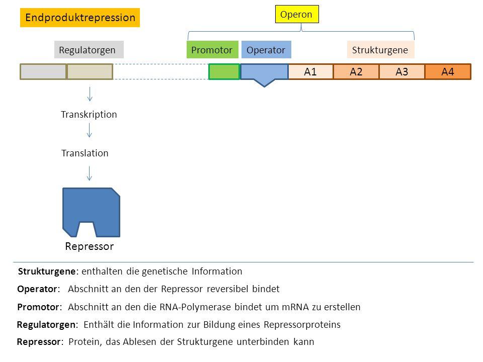 A1A2A3 Strukturgene Strukturgene: enthalten die genetische Information OperatorPromotor Transkription Translation Repressor Operator: Abschnitt an den