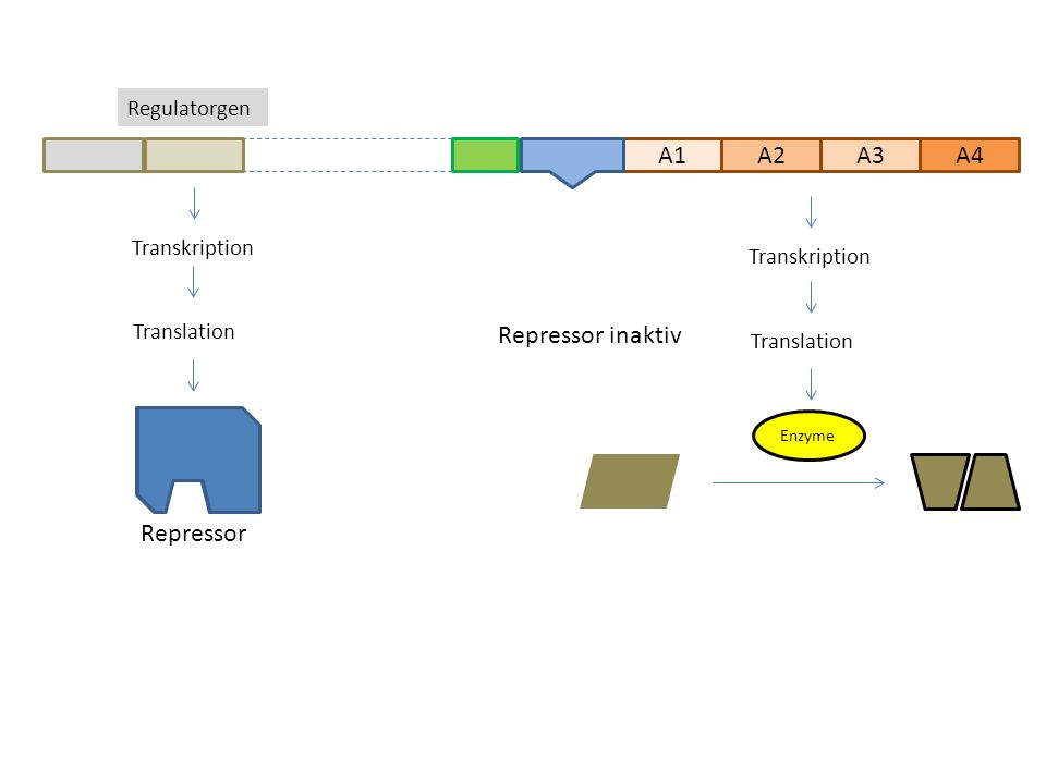 A1A2A3 Regulatorgen A4 Transkription Translation Repressor inaktiv Transkription Translation Repressor Enzyme