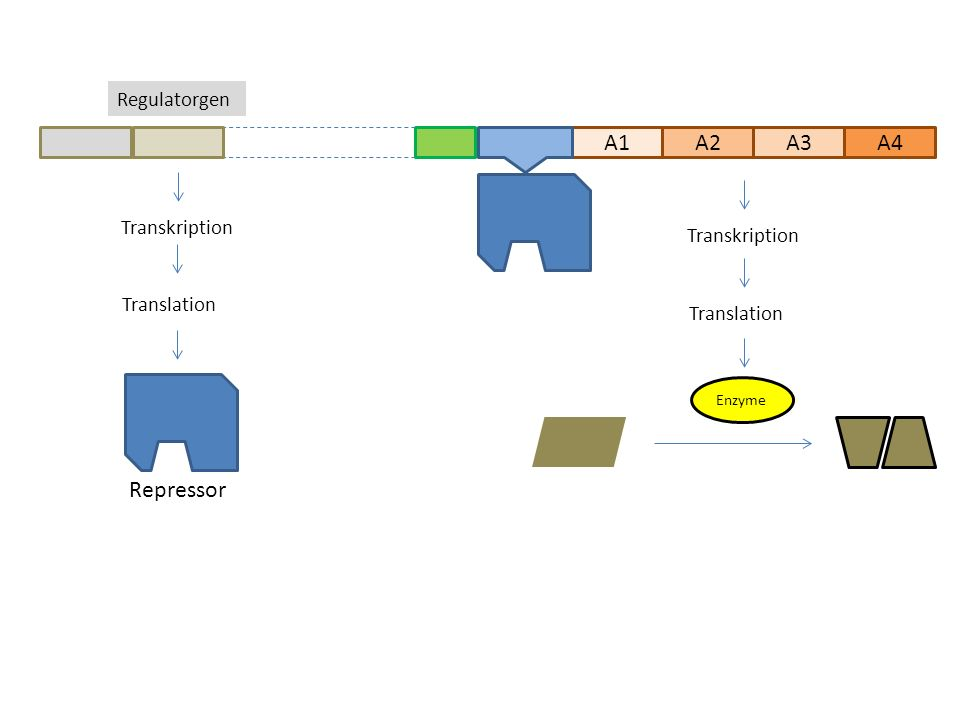 A1A2A3 Regulatorgen A4 Transkription Translation Enzyme Transkription Translation Repressor