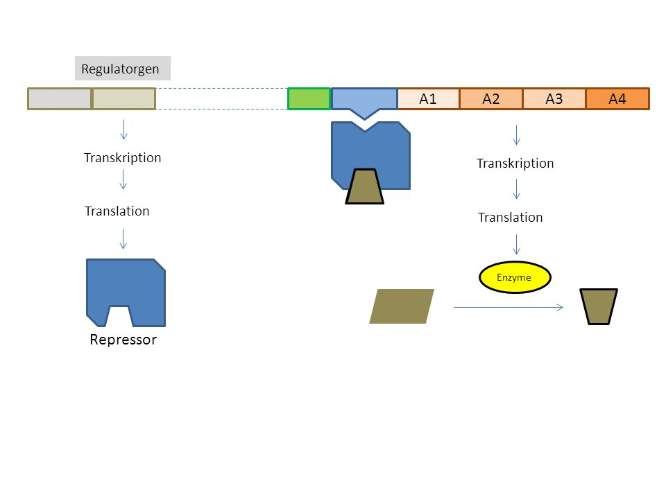 A1A2A3 Regulatorgen A4 Transkription Translation Transkription Translation Repressor Enzyme