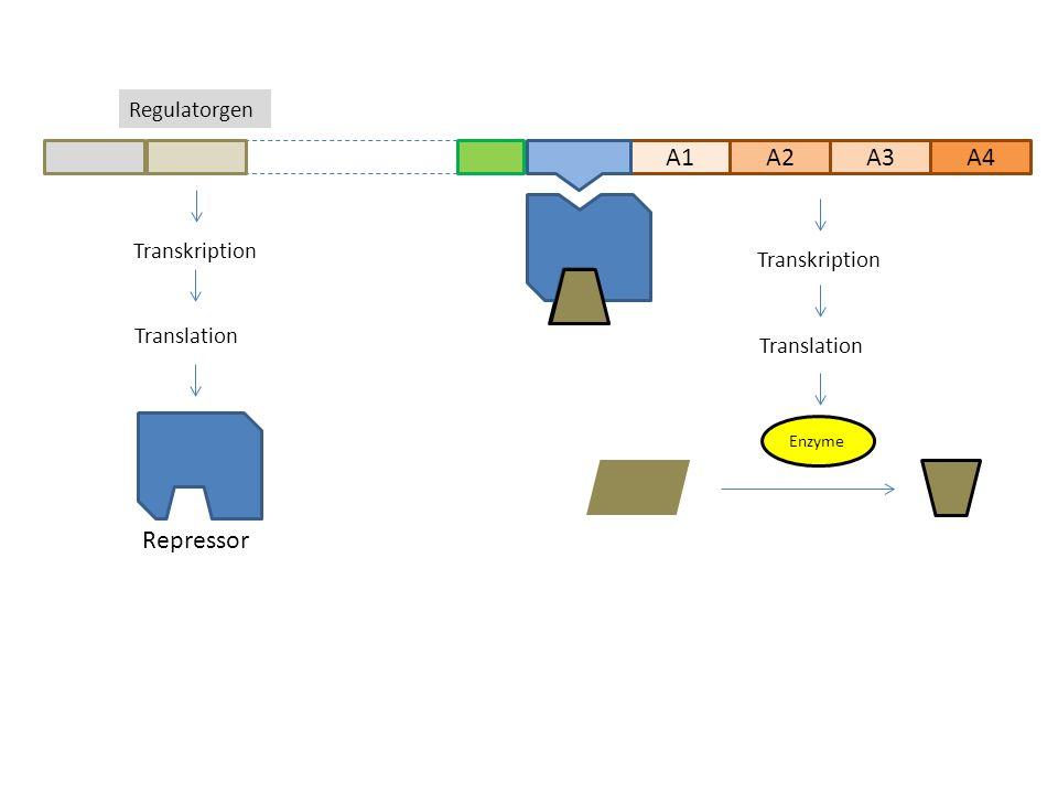 A1A2A3 Regulatorgen A4 Transkription Translation Transkription Translation Repressor Enzyme