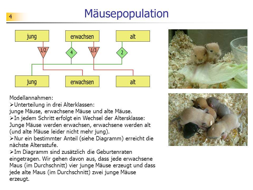 4 Mäusepopulation Modellannahmen: Unterteilung in drei Alterklassen: junge Mäuse, erwachsene Mäuse und alte Mäuse. In jedem Schritt erfolgt ein Wechse