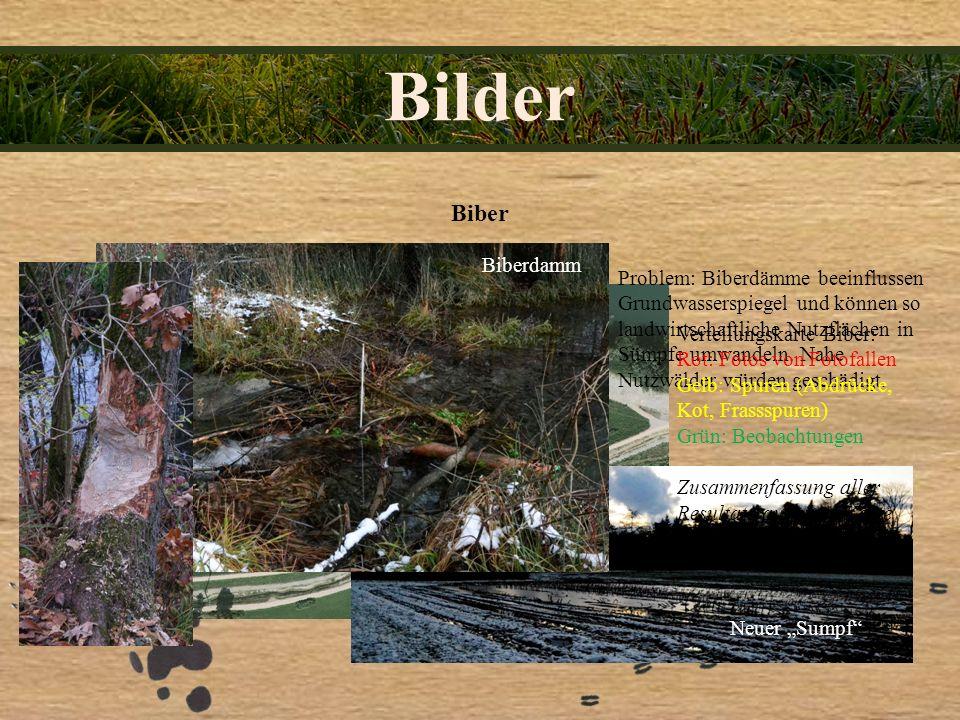 Bilder Biber Problem: Biberdämme beeinflussen Grundwasserspiegel und können so landwirtschaftliche Nutzflächen in Sümpfe umwandeln. Nahe Nutzwälder wü