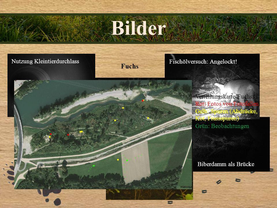 Bilder Fuchs Nutzung Kleintierdurchlass Biberdamm als Brücke Fischölversuch: Angelockt! Verteilungskarte Fuchs: Rot: Fotos von Fotofallen Gelb: Spuren