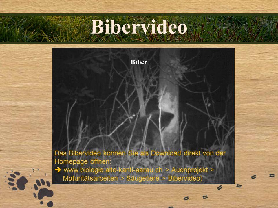 Bibervideo Biber Das Bibervideo können Sie als Download direkt von der Homepage öffnen: www.biologie.alte-kanti-aarau.ch > Auenprojekt > Maturitätsarb