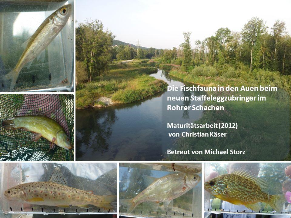 Die Fischfauna in den Auen beim neuen Staffeleggzubringer im Rohrer Schachen Maturitätsarbeit (2012) von Christian Käser Betreut von Michael Storz
