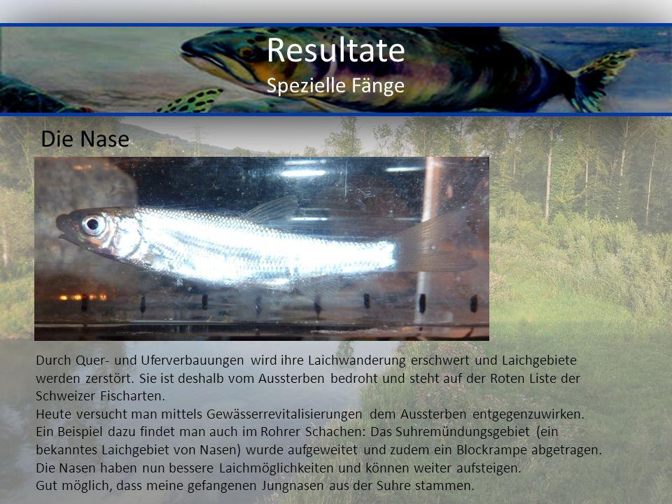 Resultate Spezielle Fänge Die Nase Durch Quer- und Uferverbauungen wird ihre Laichwanderung erschwert und Laichgebiete werden zerstört.