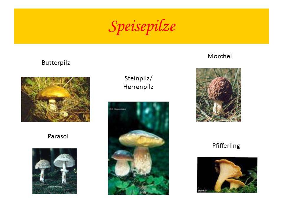 Speisepilze Steinpilz/ Herrenpilz Morchel Parasol Pfifferling Butterpilz