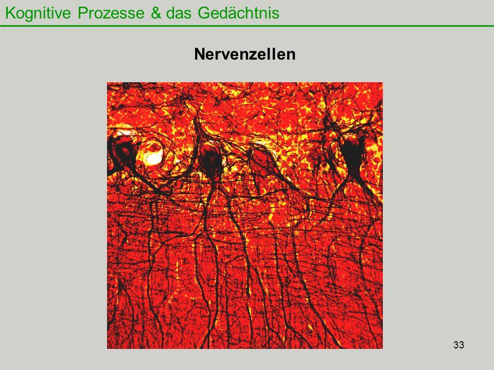 34 Kognitive Prozesse & das Gedächtnis - Für alles (Gesichter, Gegenstände, Telefonnummern usw.) gibt es ein ganz spezielles Muster von Nervenzellen, die gemeinsam aktiv sind => neuronales Netzwerk - Wenn wir uns etwas kurz merken müssen, verblasst das entsprechende Muster schnell, weil nur wenige Nervenzellen beteiligt und die Verbindungen zwischen ihnen sehr locker sind - Bei dauerhaften Erinnerungen sind mehr Nervenzellen beteiligt, das Signal stark - Die Verbindungen zwischen den beteiligten Nervenzellen wesentlich stärker - Wenn wichtige Erinnerungen häufig aktiviert werden, dann werden dadurch die Verbindungen stabilisiert