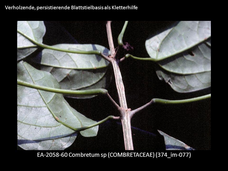 Verholzende, persistierende Blattstielbasis als Kletterhilfe