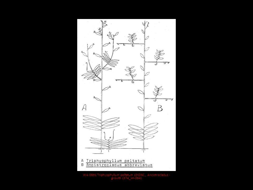 MAD-0239 Pachypodium brevicaule (Apocynaceae)_IMPR