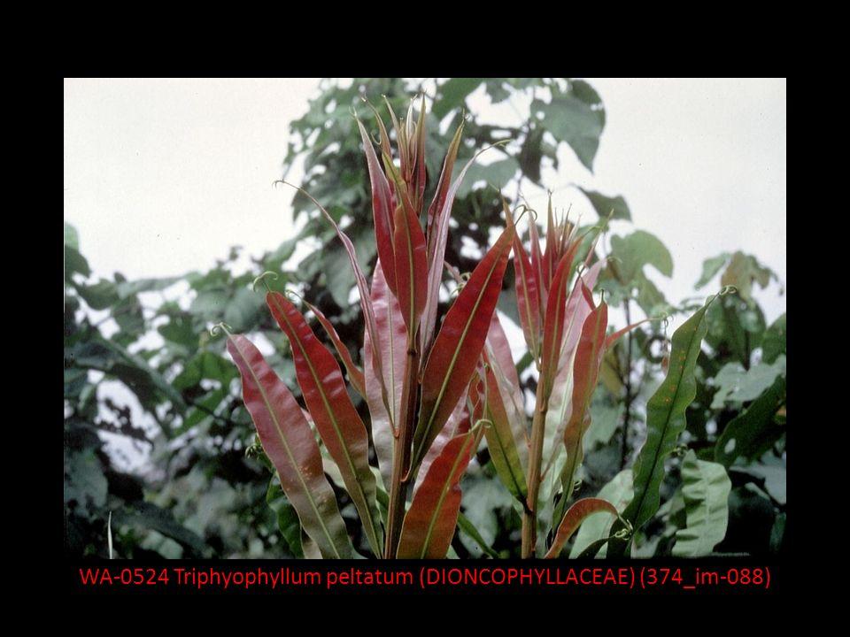 ANHANG SPEZIALKAPITEL: Myrothamnus* (MYROTHAMNACEAE) – ein poikilohydrer** Zwergstrauch * 2 Arten, 1 (M.