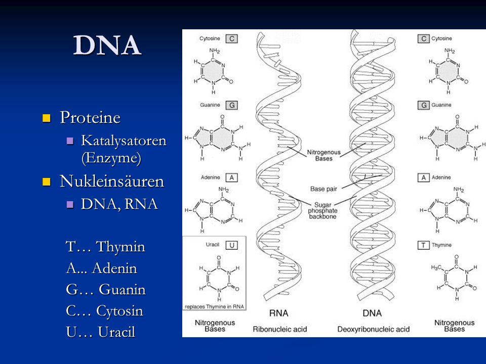 DNA Proteine Proteine Katalysatoren (Enzyme) Katalysatoren (Enzyme) Nukleinsäuren Nukleinsäuren DNA, RNA DNA, RNA T… Thymin A... Adenin G… Guanin C… C