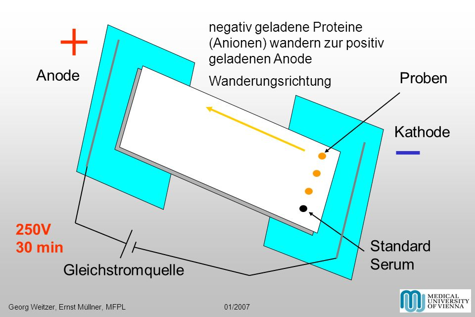 Gleichstromquelle + Proben Standard Serum 250V 30 min Georg Weitzer, Ernst Müllner, MFPL 01/2007 Anode Kathode negativ geladene Proteine (Anionen) wan