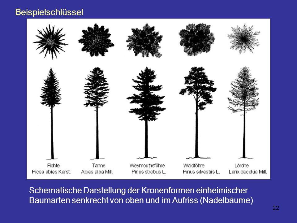 22 Schematische Darstellung der Kronenformen einheimischer Baumarten senkrecht von oben und im Aufriss (Nadelbäume) Beispielschlüssel