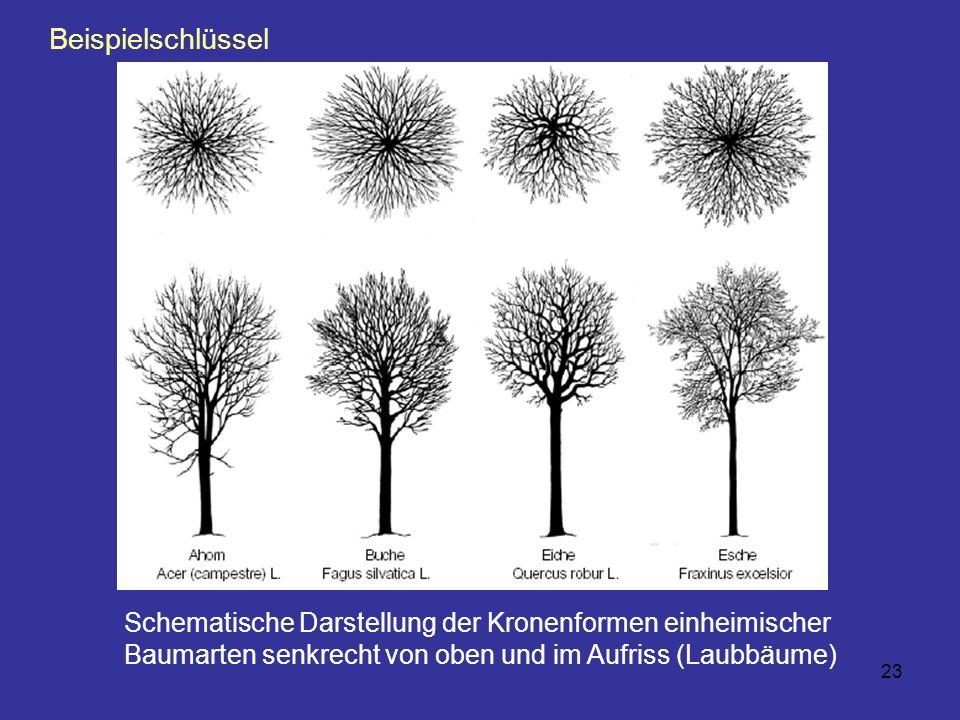23 Schematische Darstellung der Kronenformen einheimischer Baumarten senkrecht von oben und im Aufriss (Laubbäume) Beispielschlüssel