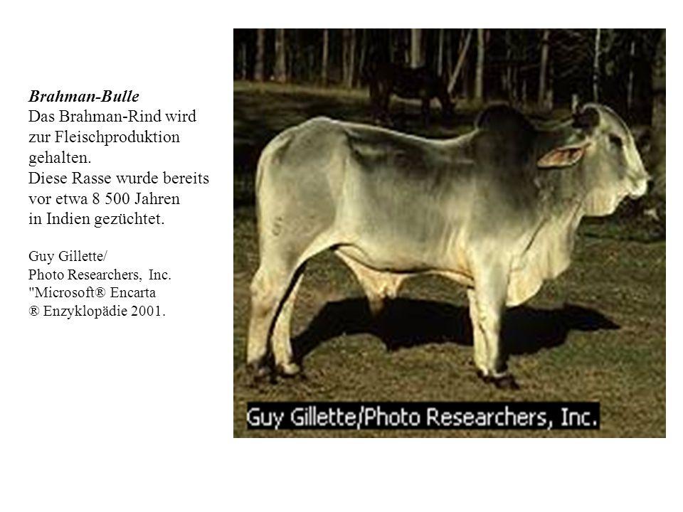 Viehweiden in Kansas (USA) Diese Texas-Langhornkühe gehören zu den sechs Millionen Rindern, die auf Farmen in Kansas umherziehen.