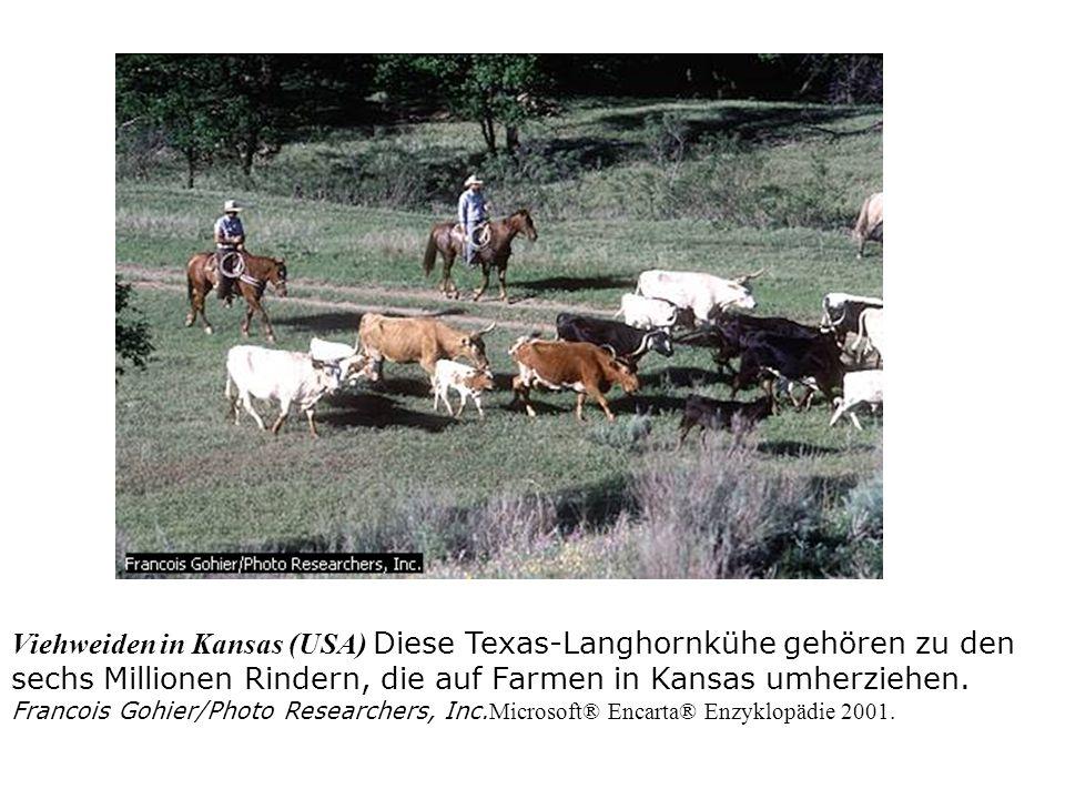 Im Norden und Mittelwesten/ Ohio um 1830: überschüssiges Getreide wird erstmals an Rinder verfüttert Rinder wurden von Illinois und Iowa kommend in Ohio mit Mais gemästet bevor sie in die Schlachthöfe von St.