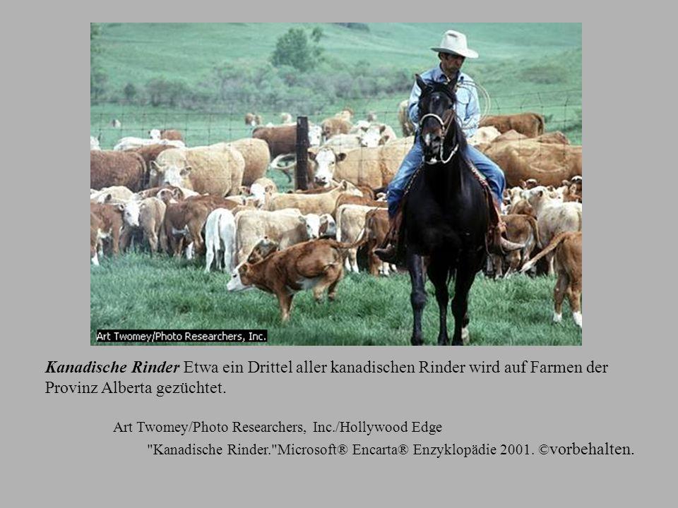 Kanadische Rinder Etwa ein Drittel aller kanadischen Rinder wird auf Farmen der Provinz Alberta gezüchtet.