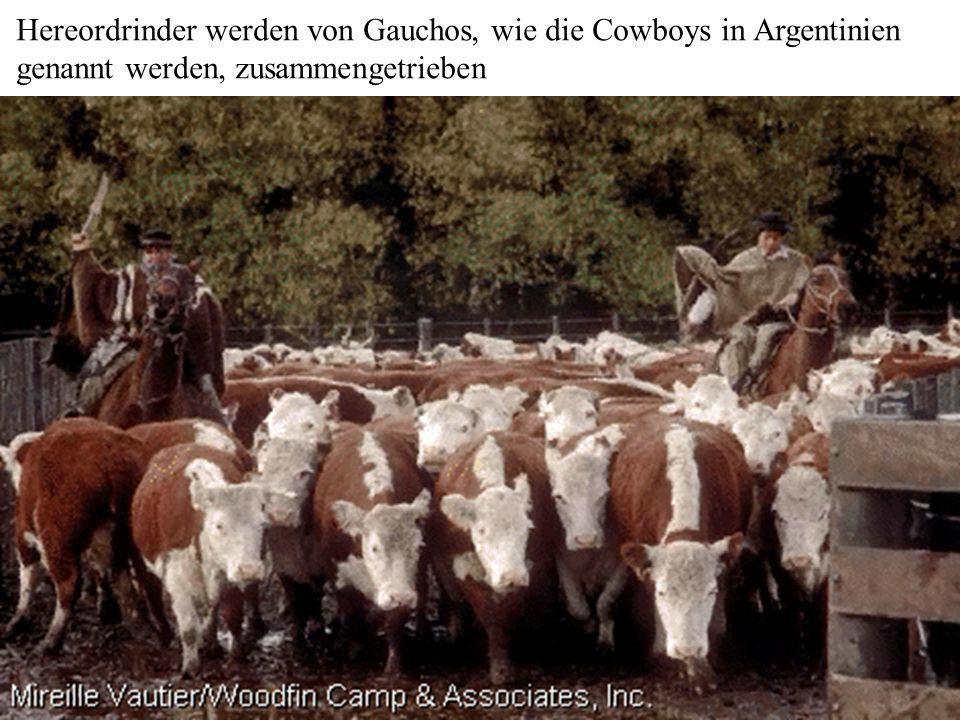 Hereordrinder werden von Gauchos, wie die Cowboys in Argentinien genannt werden, zusammengetrieben