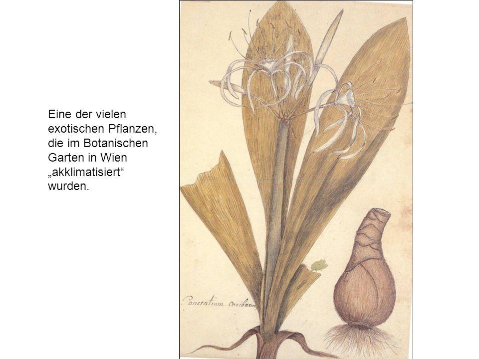 Eine der vielen exotischen Pflanzen, die im Botanischen Garten in Wien akklimatisiert wurden.