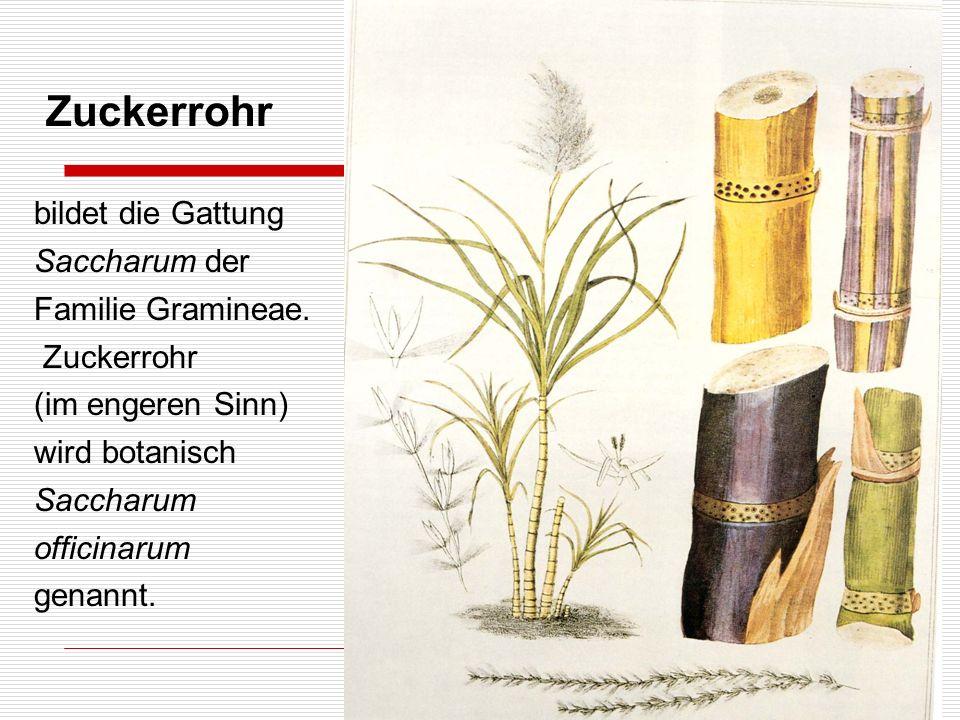 Zuckerrohr bildet die Gattung Saccharum der Familie Gramineae. Zuckerrohr (im engeren Sinn) wird botanisch Saccharum officinarum genannt.