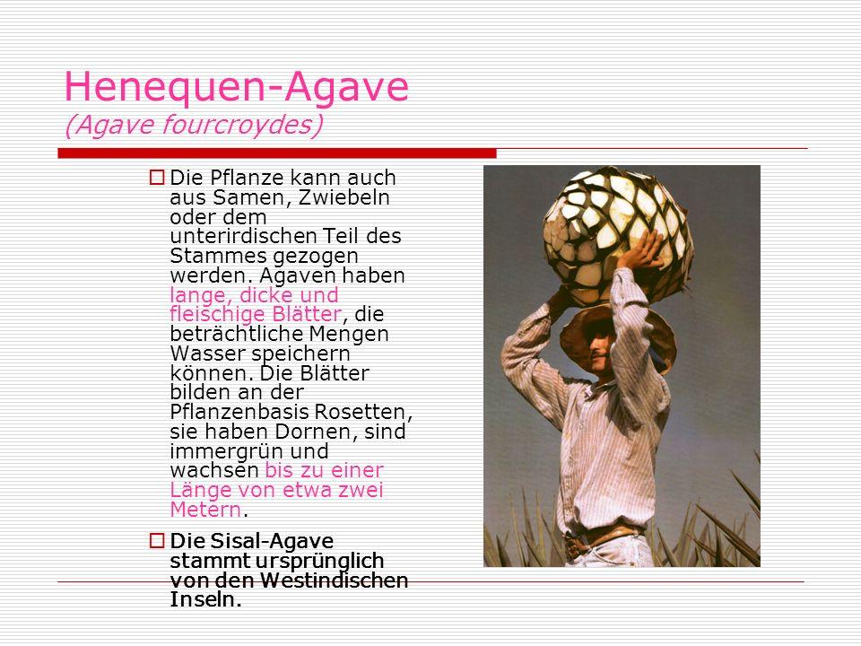 Henequen-Agave (Agave fourcroydes) Die Pflanze kann auch aus Samen, Zwiebeln oder dem unterirdischen Teil des Stammes gezogen werden. Agaven haben lan