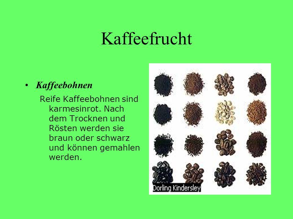 Kaffeefrucht Kaffeebohnen Reife Kaffeebohnen sind karmesinrot. Nach dem Trocknen und Rösten werden sie braun oder schwarz und können gemahlen werden.