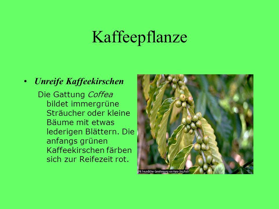 Kaffeepflanze Unreife Kaffeekirschen Die Gattung Coffea bildet immergrüne Sträucher oder kleine Bäume mit etwas lederigen Blättern. Die anfangs grünen