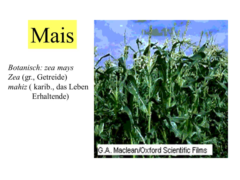 Mais Botanisch: zea mays Zea (gr., Getreide) mahiz ( karib., das Leben Erhaltende)