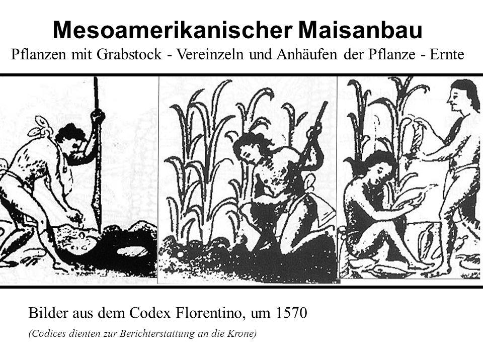 Bilder aus dem Codex Florentino, um 1570 (Codices dienten zur Berichterstattung an die Krone) Mesoamerikanischer Maisanbau Pflanzen mit Grabstock - Ve