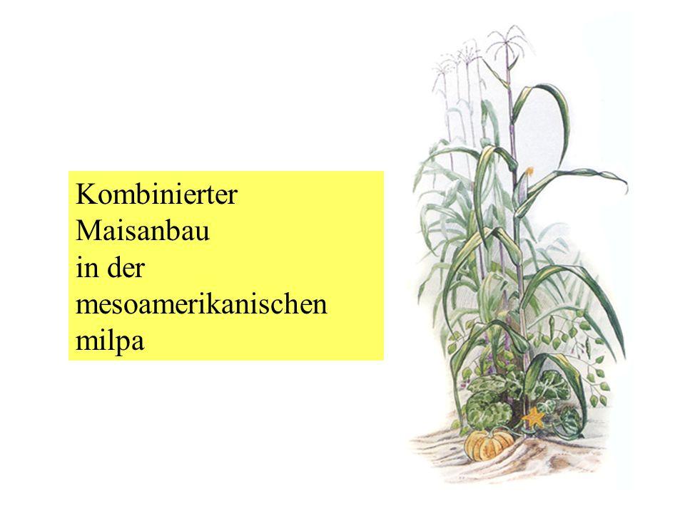 Kombinierter Maisanbau in der mesoamerikanischen milpa